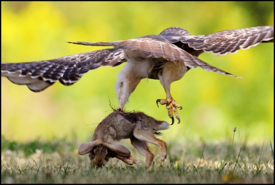 A hawk catches a hare. Shanthanu Bardwaj CC2 flickr.com/photos/tengen/6906778869