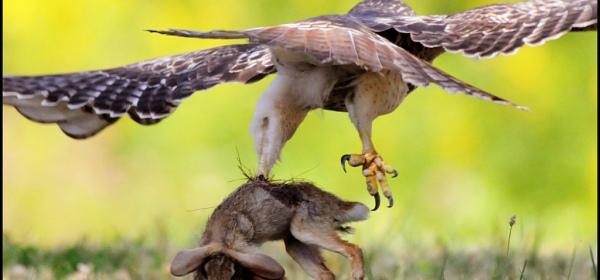 A hawk catches a hare. Shanthanu Bardwaj CC2 flickr.com/photos/tengen/6906778869